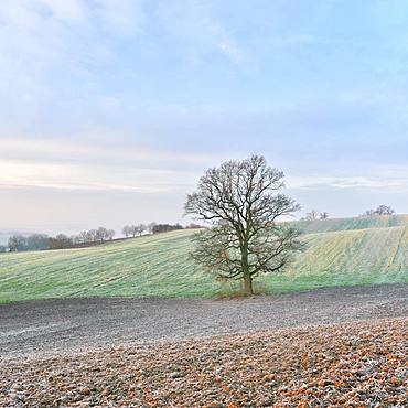 Solitary bare Oak (Quercus), harvested fields with hoarfrost, Burgenlandkreis, Saxony-Anhalt, Germany, Europe