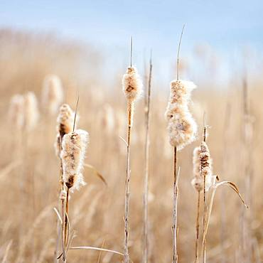 Flowering Cattail (Typha) in reed belt, Lake Geiseltalsee, Saxony-Anhalt, Germany, Europe