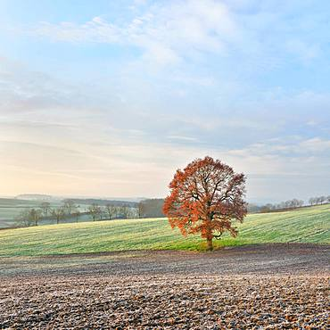 Solitary Oak (Quercus) with red autumn leaves, harvested fields with hoarfrost, Burgenlandkreis, Saxony-Anhalt, Germany, Europe