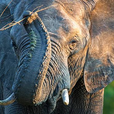 African elephant (Loxodonta africana) raises trunk and grabs branch, portrait, Klaserie Nature Reserve, South Africa, Africa