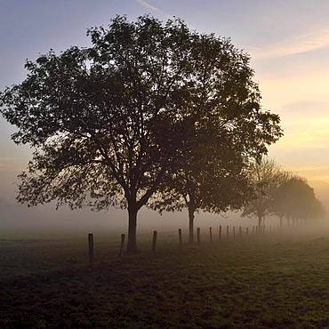 Ash (Fraxinus excelsior) in dawn with morning fog, Rheinberg, Lower Rhine, North Rhine-Westphalia, Germany, Europe