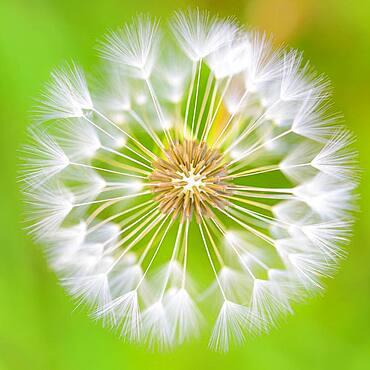 Filigree arrangement of seeds of a flower, Oldenburger Muensterland, Goldenstedt, Lower Saxony, Germany, Europe
