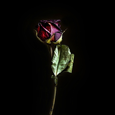 Faded rose flower, France, Europe