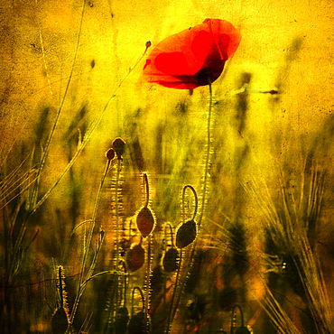 Poppy in a wheat field, Puy de Dome department, Auvergne-Rhone-Alpes, France, Europe