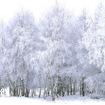 Birches, hoarfrost, Auvergne-Rhone-Alpes, France, Europe