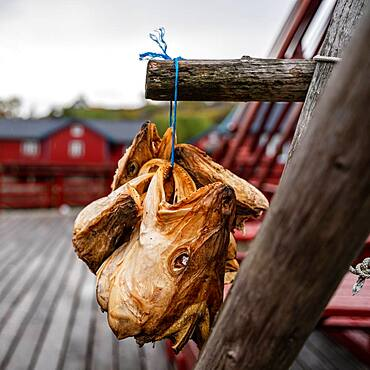 Cod stockfish, Norwegian Fishing Village Museum A, A, Moskenesoy, Norway, Europe