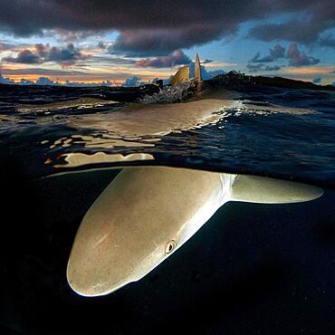 Grey reef shark (Carcharhinus amblyrhynchos) hunts at dusk, Pacific Ocean, Micronesia, Oceania