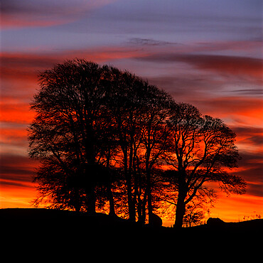 Clump of trees at sunrise, Avebury, Wiltshire, England, United Kingdom, Europe