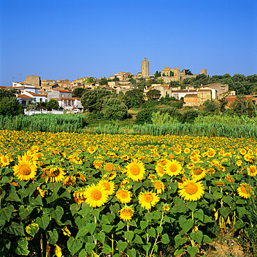 Hilltop village above sunflower field, Pals, Catalunya (Costa Brava), Spain, Europe