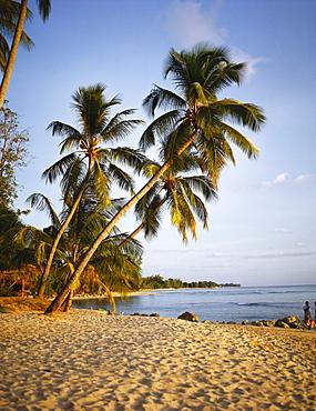 Palm Trees on a Sandy Beach, Barbados