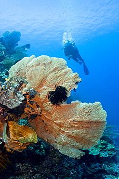 Diver & Sea Fan Subergorgia mollis