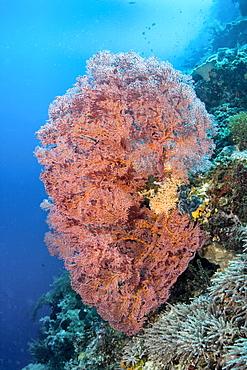 Sea Fan Melithaea sp