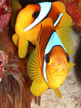 Anemone Fish. Red Sea, Egypt. - 1022-16