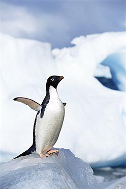 Adelie penguin (Pygoscelis adeliae) on ice chunk, Paulet Island, Antarctica, Southern Ocean