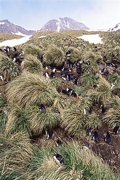Macaroni penguins (Eudyptes chrysolophus) Nesting amoungst tussock, South Georgia Island, Antarctica, Southern Ocean.