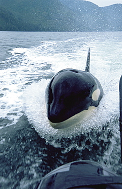 Orca/ Killer whale (Orcinus orca) 'Luna'  (L98) surfing in wake of Fisheries boat, 5-year old lone male in Nootka Sound, West Vancouver Island, Canada, North Pacific.