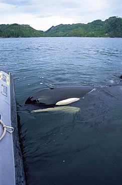orca/ killer whale (Orcinus orca) 'Luna' (L98), interacting with Fisheries boat, 5-year old lone male in Nootka Sound, West Vancouver Island, Canada, North Pacific.