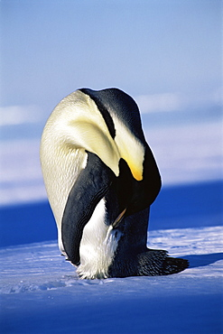 Emperor penguin (Aptenodytes forsteri) head bent over, Ross Sea, Antarctica, Southern Ocean.
