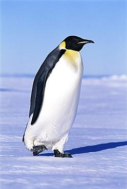 Emperor penguin (Aptenodytes forsteri), side view of penguin, Ross Sea, Antarctica, Southern Ocean.