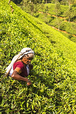 Tea plucking, Castlereagh Lake, Hatton, Central Province, Sri Lanka, Asia