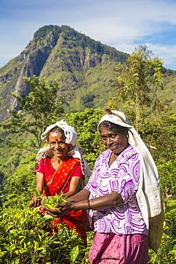 Tea pluckers, Ella, Uva Province, Sri Lanka, Asia