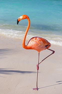 Flamingo on Flamingo beach, Renaissance Island, Oranjestad, Aruba, Lesser Antilles, Netherlands Antilles, Caribbean, Central America