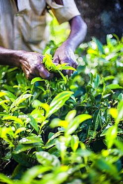 Hands of a tea picker picking tea in the Sri Lanka Central Highlands, Tea Country, Sri Lanka, Asia