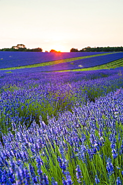 Lavender field at Snowshill Lavender, The Cotswolds, Gloucestershire, England, United Kingdom, Europe