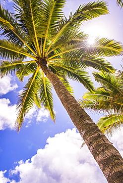 Palm tree in Titikaveka, Rarotonga, Cook Islands, South Pacific Ocean, Pacific