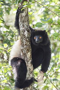 Milne-Edwards sifaka (Propithecus Edwardsi), Ranomafana National Park, Madagascar Central Highlands, Madagascar, Africa