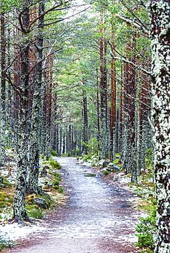Rothiemurchus Forest at Loch an Eilein, Aviemore, Cairngorms National Park, Scotland, United Kingdom, Europe