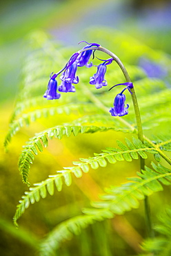 Bluebell in woods at Derwent Water, Lake District, Cumbria, England, United Kingdom, Europe