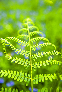 Fern in bluebell woods at Derwent Water, Lake District, Cumbria, England, United Kingdom, Europe