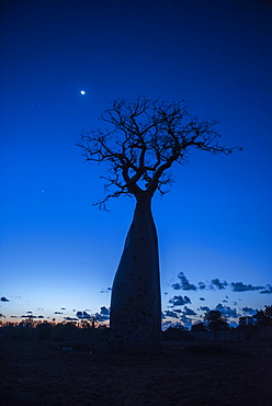 Baobab tree at night in a spiny forest reserve, Ifaty, Madagascar, Africa