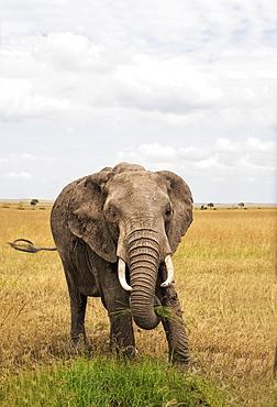Single, fully grown elephant with tusks, Maasai Mara National Reserve, Kenya, East Africa, Africa