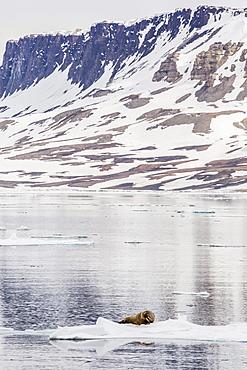 Atlantic walrus (Odobenus rosmarus rosmarus) hauled out on ice near Cape Fanshawe, Spitsbergen, Svalbard, Norway, Scandinavia, Europe