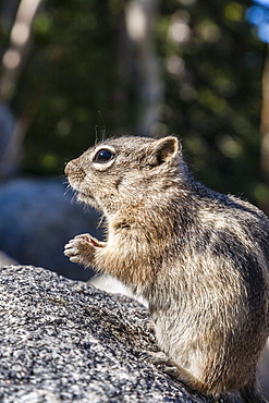 An adult golden-mantled ground squirrel (Callospermophilus lateralis), Rocky Mountain National Park, Colorado, United States of America, North America