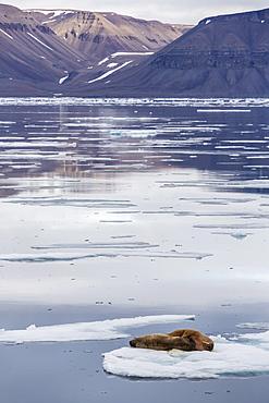 Adult walrus (Odobenus rosmarus) on ice floe in Maxwell Bay, Devon Island, Nunavut, Canada, North America