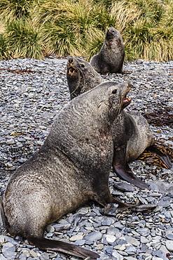 Antarctic fur seal (Arctocephalus gazella) males defending territories, Stromness Harbor, South Georgia, UK Overseas Protectorate, Polar Regions