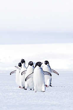 Adult Adelie penguins (Pygoscelis adeliae) walking on first year sea ice in Active Sound, Weddell Sea, Antarctica, Polar Regionswhitening of whites, slight increase in contrast
