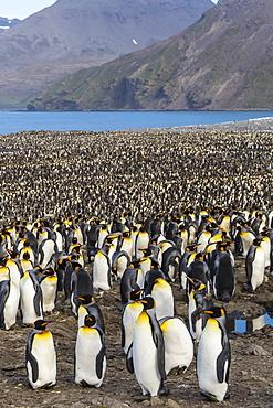 King penguin (Aptenodytes patagonicus) breeding colony at St. Andrews Bay, South Georgia, UK Overseas Protectorate, Polar Regions