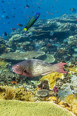 Female bicolor parrotfish (Cetoscarus bicolor), Batu Bolong Island, Komodo Island National Park, Indonesia, Southeast Asia, Asia