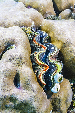 A profusion of hard and soft coral with a giant clam underwater on Tengah Besar Island, Komodo Island National Park, Indonesia, Southeast Asia, Asia