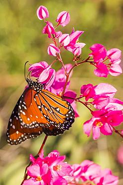 Queen butterfly (Danaus gilippus) on queen's wreath (Antigonon leptopus), Himalaya Beach, Sonora, Mexico, North America