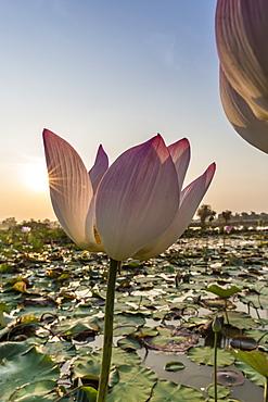 Lotus flower (Nelumbo nucifera), near the village of Kampong Tralach, Cambodia, Indochina, Southeast Asia, Asia