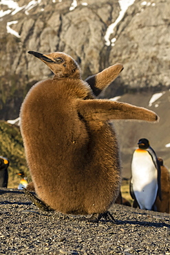 King penguin chick (Aptenodytes patagonicus), ecstatic display in Gold Harbor, South Georgia, Polar Regions