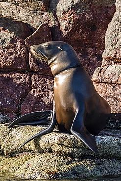 California sea lion (Zalophus californianus) with monofilament net around its neck on Los Islotes, Baja California Sur, Mexico, North America