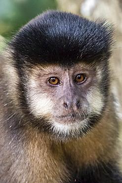 Adult black capuchin (Sapajus nigritus) head detail, Iguazu Falls National Park, Misiones, Argentina, South America