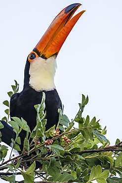 Toco toucan (Ramphastos toco), feeding within Iguazu Falls National Park, Misiones, Argentina, South America