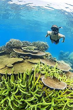Snorkeler in underwater profusion of hard plate corals at Pulau Setaih Island, Natuna Archipelago, Indonesia, Southeast Asia, Asia